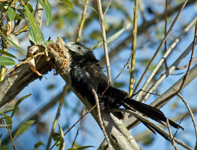 Groove-billed Ani warming in the early morning sun