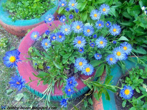 садовая голубая ромашка