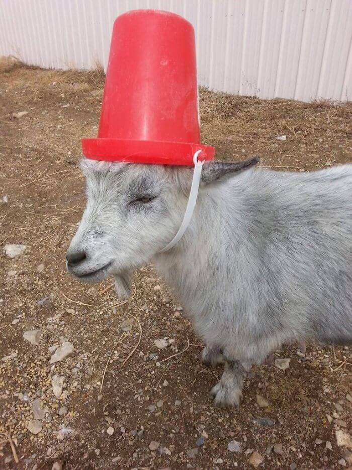 14 Pictures Of Misbehaving Goats That Were Made To Wear Pool Noodles For Everybody's Safety