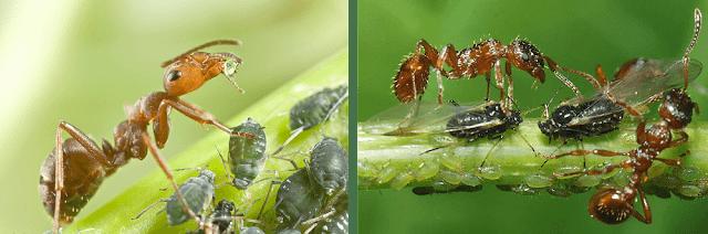 נמלים וכנימות - הנמלה מגינה על הכנימות אשר מזינות אותה בטל-דבש