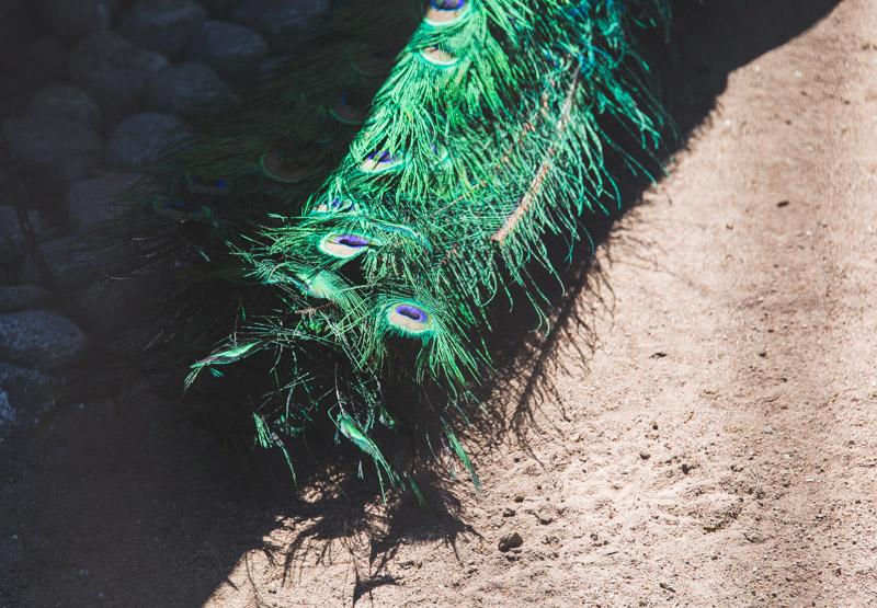 Kupittaan Lintulammikolla voi ihastella näyttäviä riikinkukkoja.