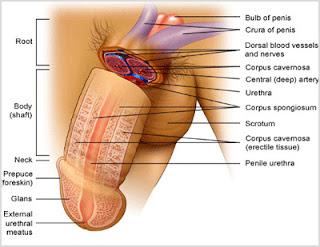 anatomi penis, anatomi alat vital pria