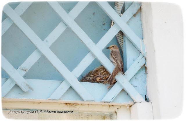 гнездо-серой--мухоловки