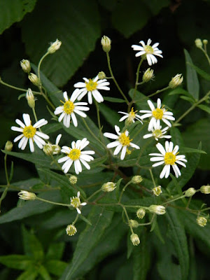 White wood aster Eurybia divaricata at Skyline Trail Cape Breton Highlands National Park by garden muses-not another Toronto gardening blog