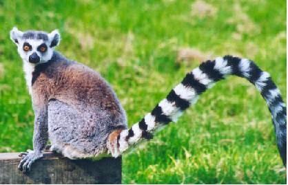 750 Koleksi Gambar Hewan Lemur Terbaik
