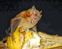 Onívoros: utilizam vários tipos de alimentos (frutos, folhas, néctar, insetos e pequenos animais). • Frugívoros: comem os mais variados frutos, como mangas, amêndoas, goiabas, bananas e frutos silvestres. É muito comum vê-los em cidades se alimentando em mangueiras e amendoeiras.