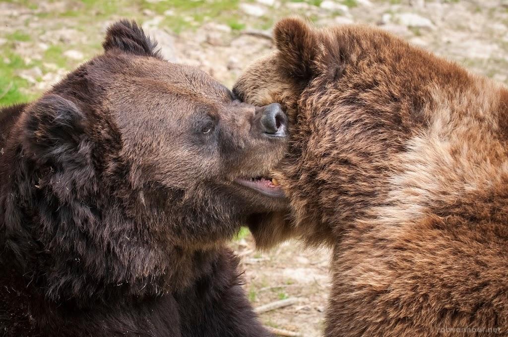 <b>Brown Bears</b> Alternativer Wolf- und Bärenpark Schwarzwald