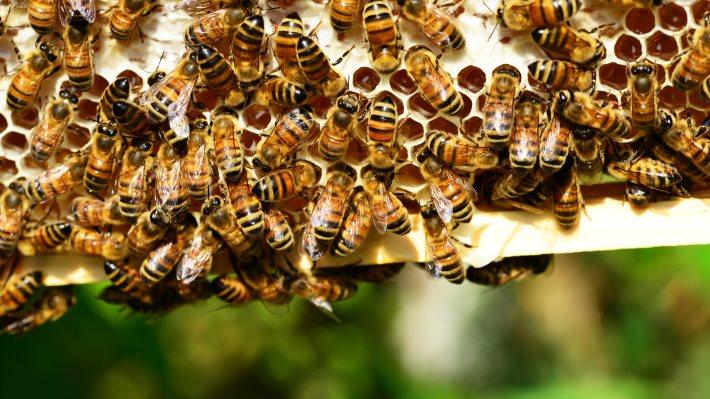 Wallpaper: Bees preparing the honey