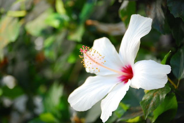 فائدة فوائد الكركديه الصحية والجمالية Hibiscus.jpg