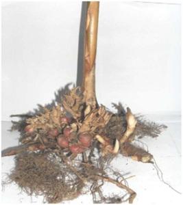 http://tipspetani.blogspot.com/2016/11/hama-dan-penyakit-tanaman-kapulaga.html