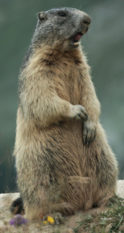 Marmottes  Aussois  refuge de la Fournache