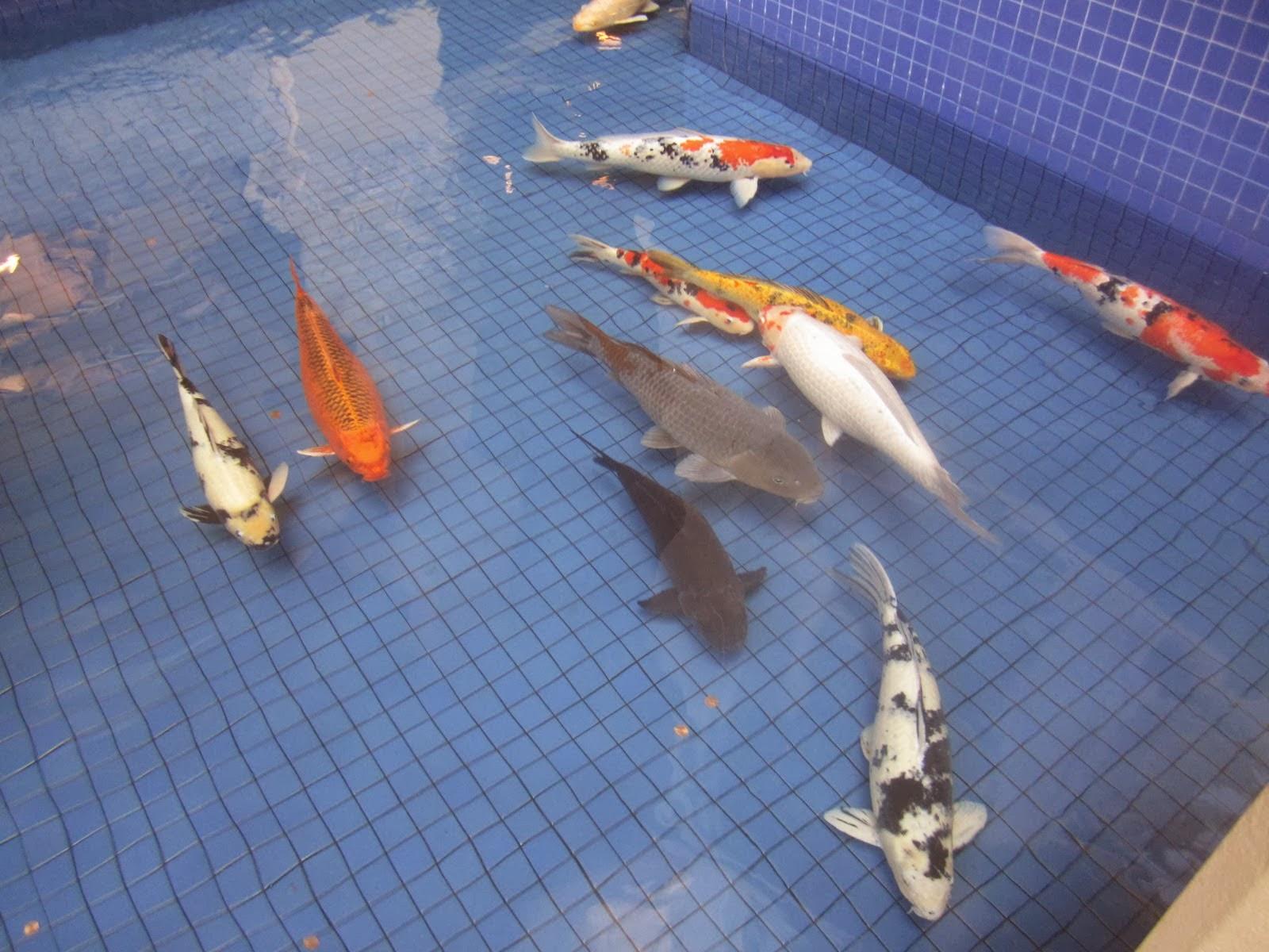 fish share GAMBAR IKAN HIAS KOI 9