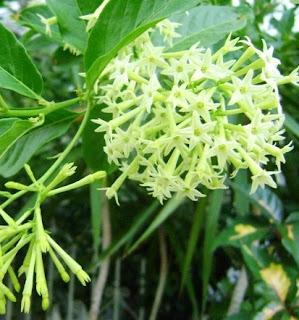 Jual bunga arum-dalu (Cestrum nocturnum) | supplier tanaman bunga