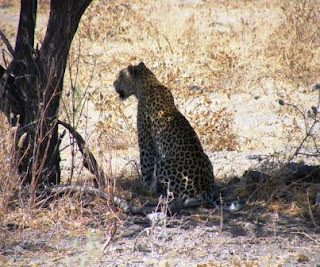 One of the Big five Safaris Leopard