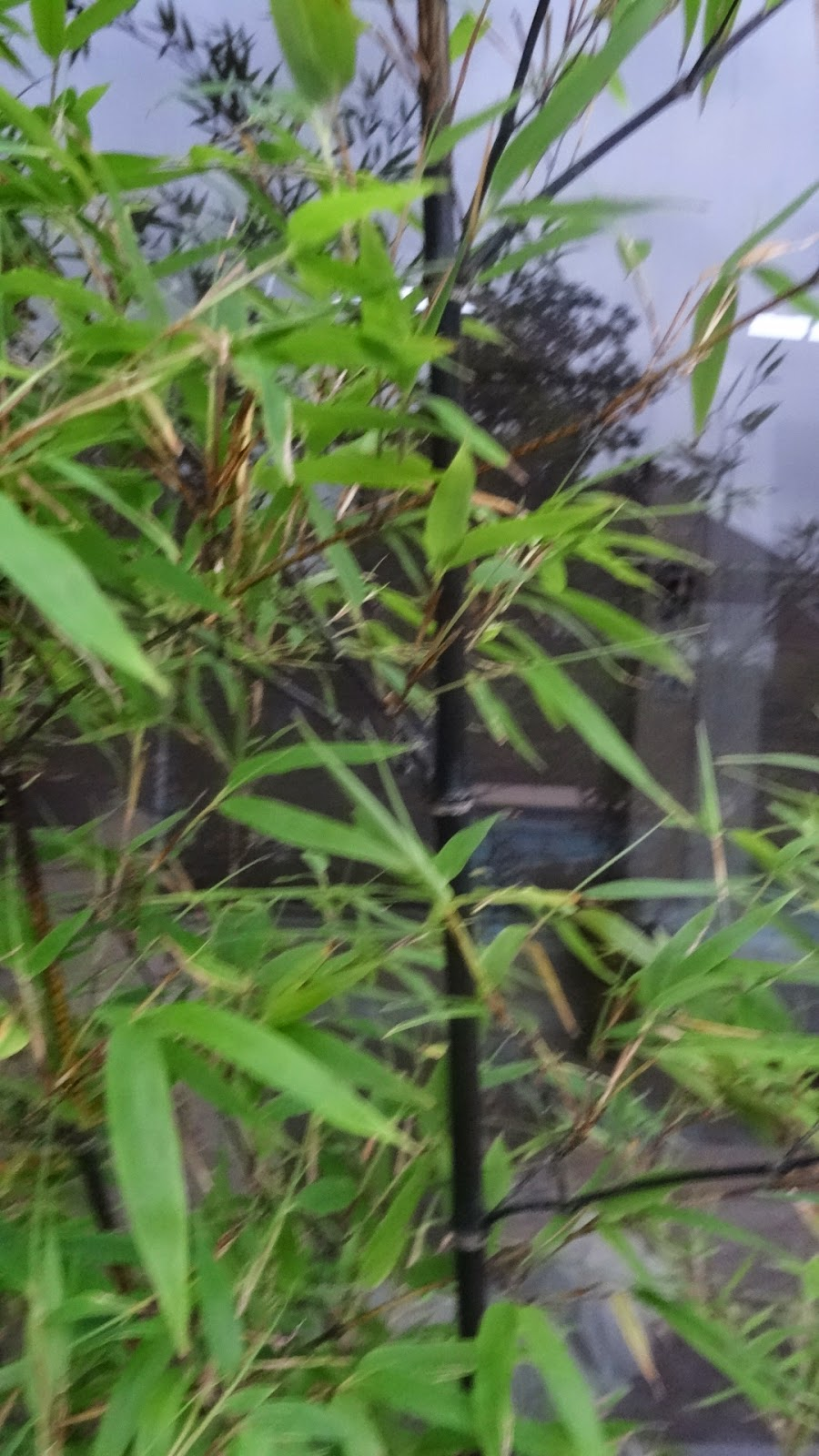 Life According To Lenetta Planting Running Black Bamboo