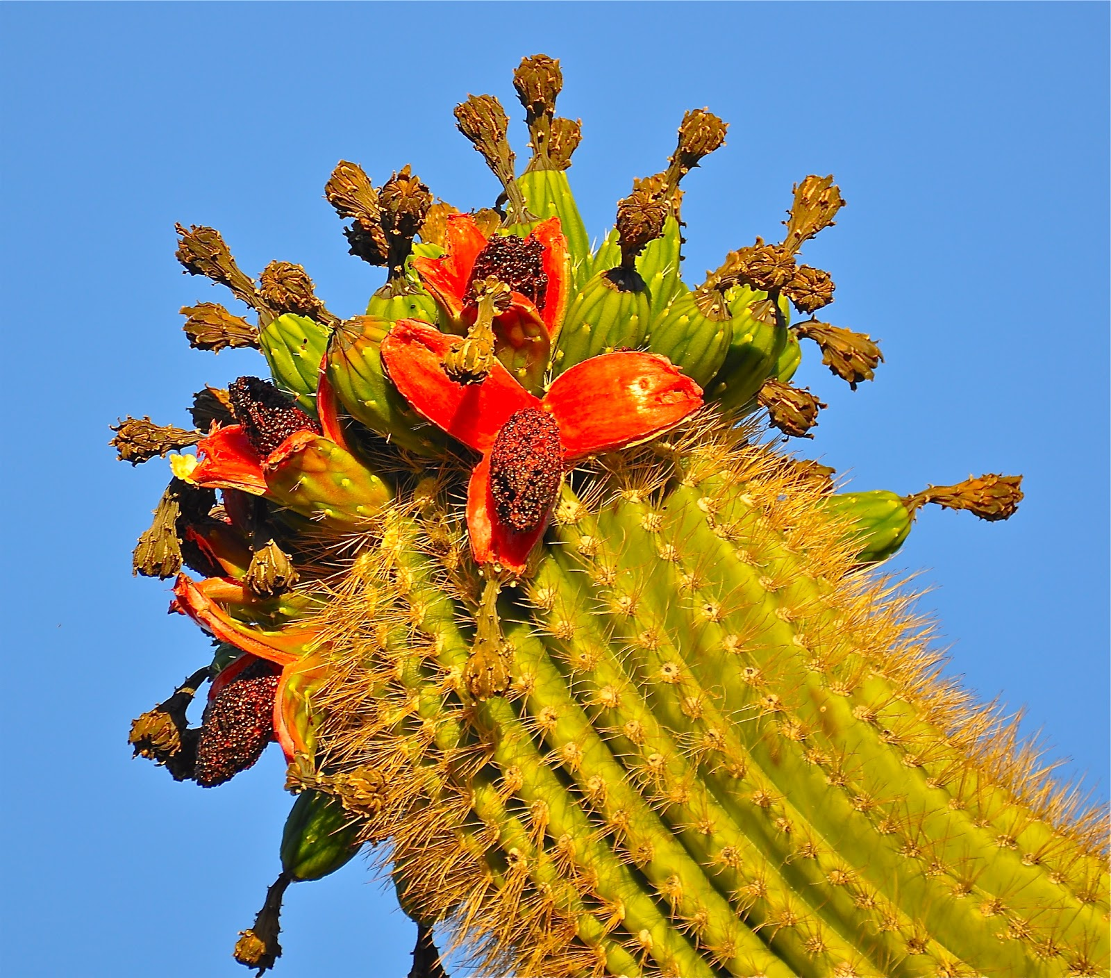 Saguaro Cactus Flowers Photograph by Art Skopec - State of ... |Saguaro Cactus Flowers