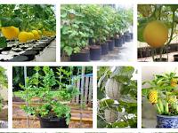 Cara Membudidayakan Tanaman Melon Di Dalam Pot