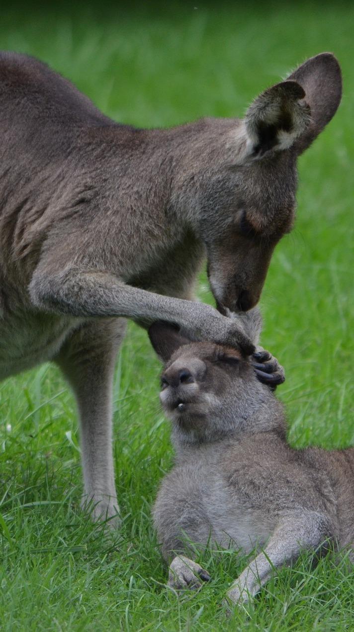 Kangaroo grooming.