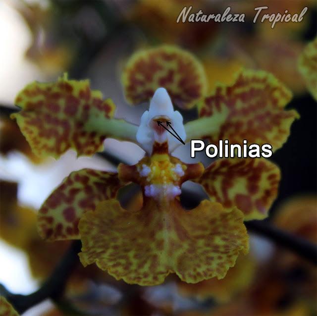Localización de las polinias en la orquídeaTrichocentrum undulatum, Oreja de Burro