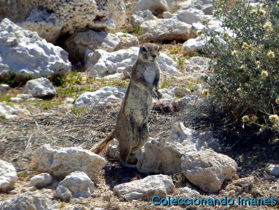 Etosha Animales Namibia Safari Suricato