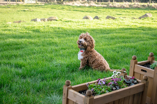 Red and white cockapoo puppy sat on grass smiling