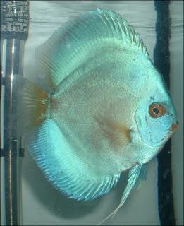 Criadero de peces ornamentales for Cria de peces ornamentales