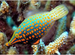 Ikan Hias Air Laut Filefish