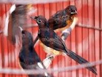 Cara memilih burung bagus di pasar