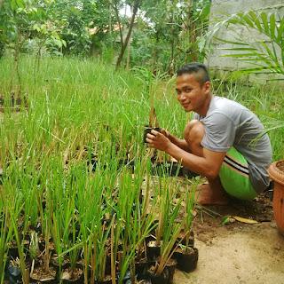 Pusat jual RUMPUT VETIVER AKAR WANGI | tanaman rumput tebing penahan longsor