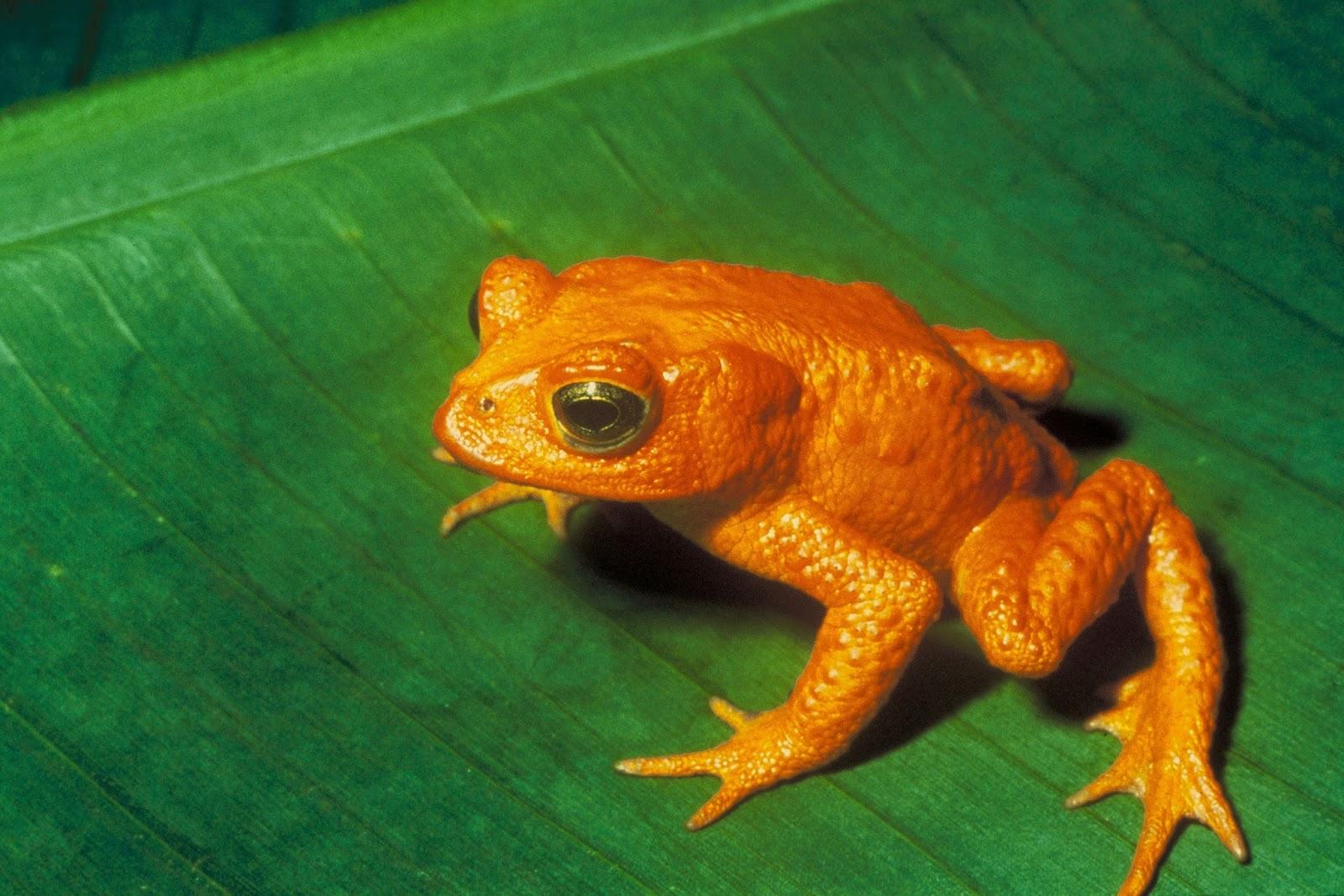 Amphibians: Bufo periglenes