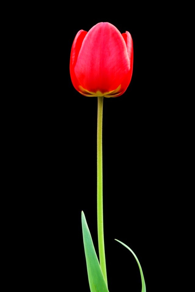 Tulip Flower Collection Hd Flowers Wallpapers