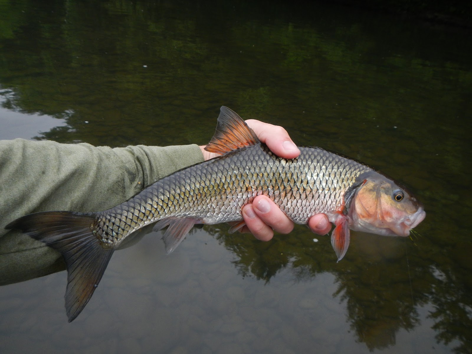Paflyfish - Fallfish vs creek chub [Forums - Warm Water ...