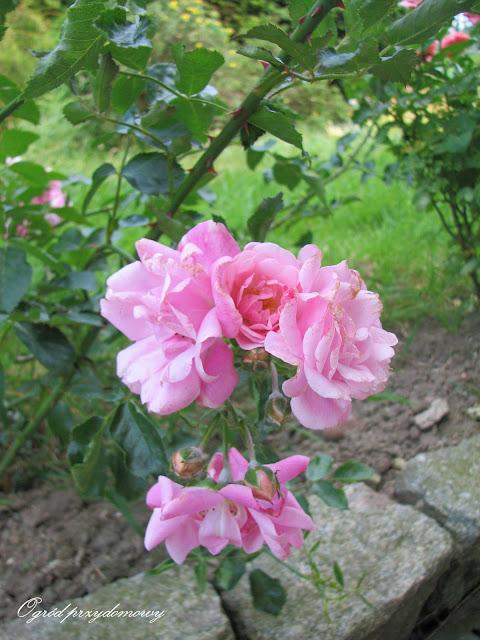 rabata różana, ogród przydomowy