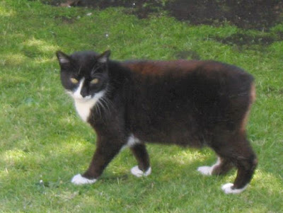 Mengenal Kucing Manx