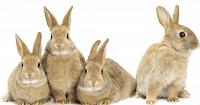 التوالد البكرى الصناعى - الأرانب