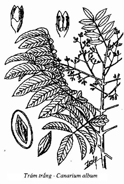 Hình vẽ CÂY TRÁM - Canarium album - Nguyên liệu làm thuốc Chữa Ho Hen