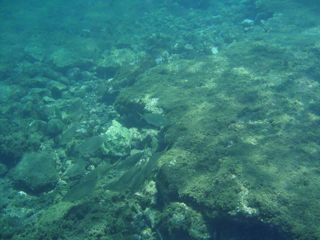 Goldstrieme - Sarpa salpa (Dorade) © Canarian Sea 04