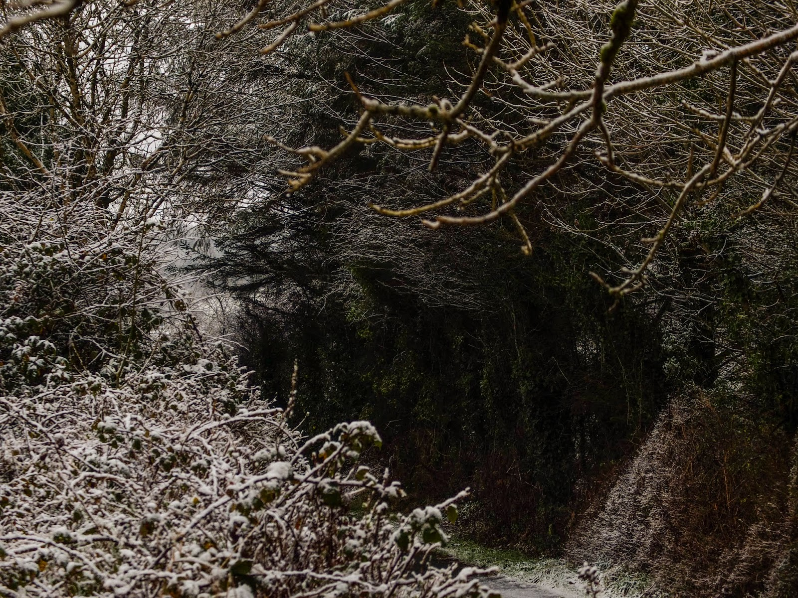 Snow covered branches of a tree tunnel in County Cork.