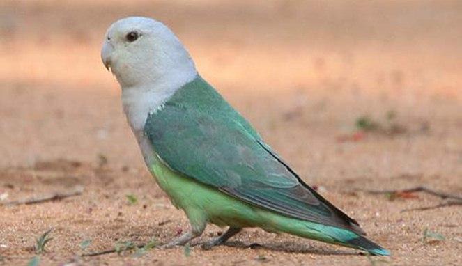 Burung Peliharaan Paling Mahal di Dunia