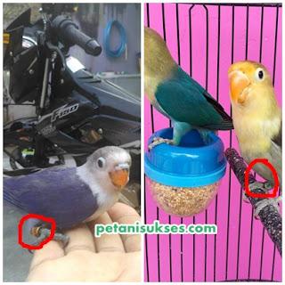 Manfaat pemasangan ring pada lovebird dari hasil penangkaran