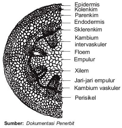 Struktur Jaringan Penyusun Batang Dikotil