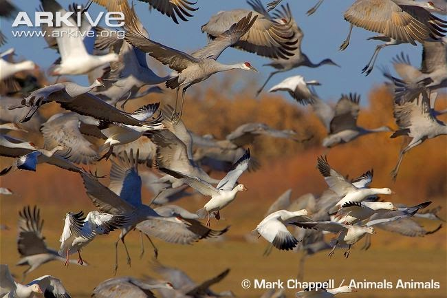 interactions between flocks sandhill crane