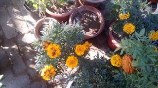 marigold flower 2104