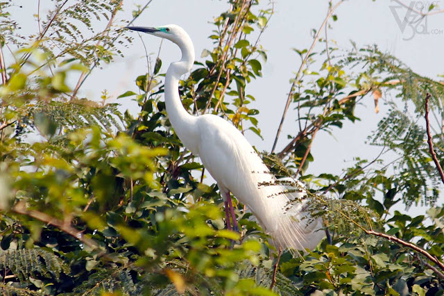 Intermediate Egret in breeding plumage and black bill- Ranganathittu