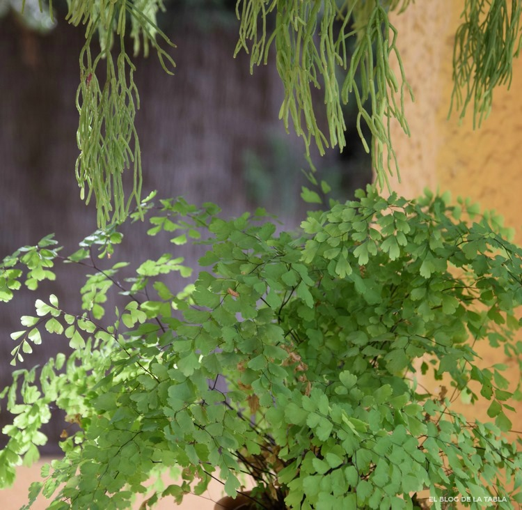 Helecho Adiantum raddianum y suculenta Rhipsalis capilliformis