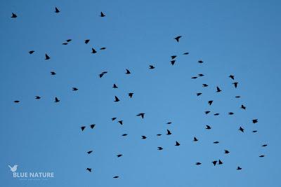 Bando de estornino negro - Spotless starling flock (Sturnus unicolor)