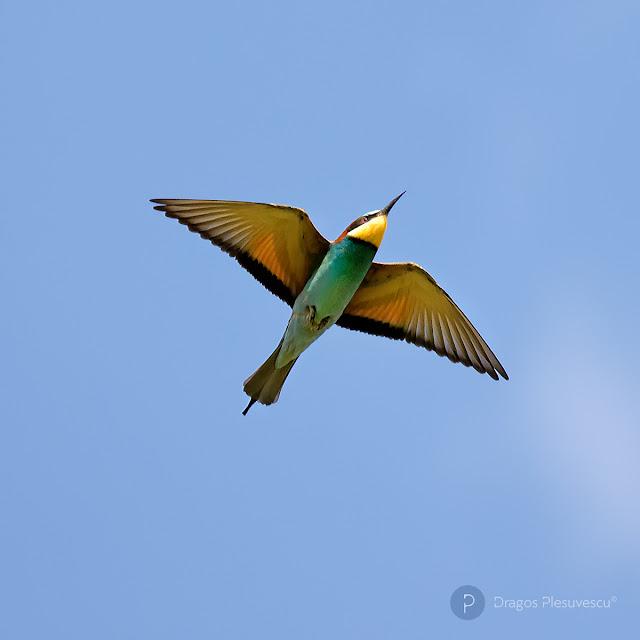 Bee-eater (Prigorie / Meropidae) 3