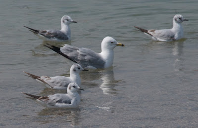 Ring-billed and Bonaparte's Gulls