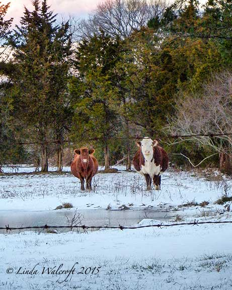 two cows in snowy field