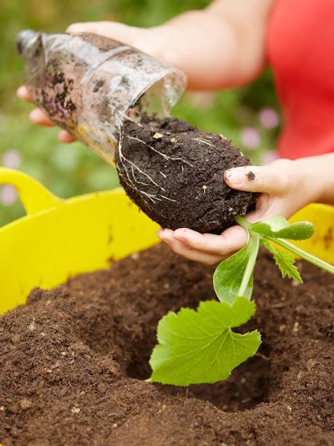 Como plantar abobrinha - Passo